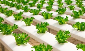 Advantages of Organic Hydroponic Greenhouses